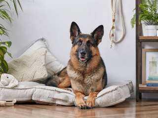 """نفوق """"بادى"""" أول كلب مصاب بفيروس كورونا فى أمريكا.. صور"""